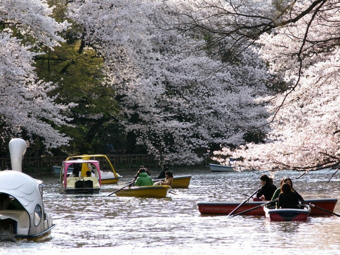Hoa anh đào tại công viên Inokashira