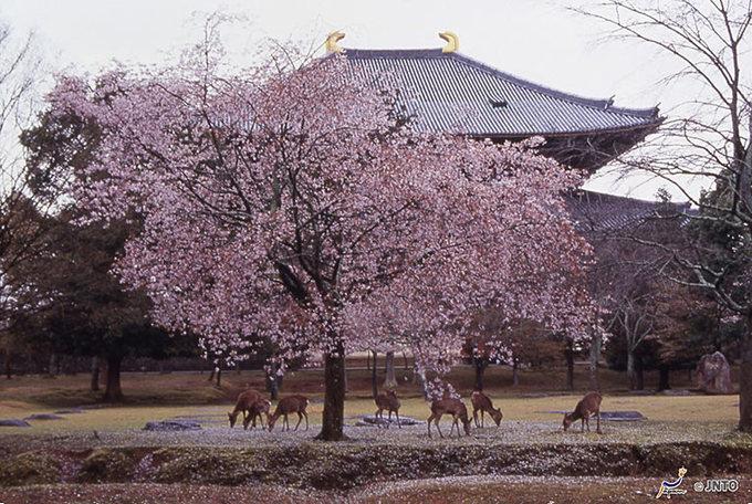 Hoa anh đào tại công viên Nara