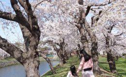 Du lịch Nhật Bản ngắm hoa anh đào đừng bỏ qua 7 công viên tuyệt đẹp này