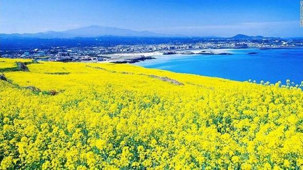 Check in cánh đồng hoa cải đẹp ngỡ ngàng ở Hàn Quốc - ảnh 1